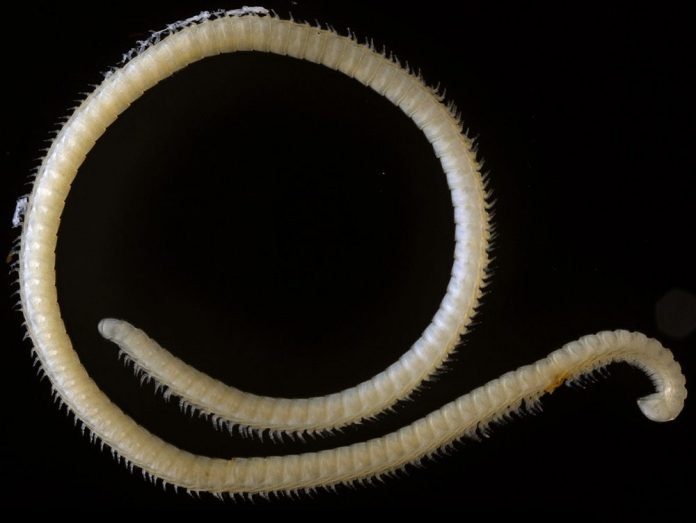 newly-discovered-millipede-with-four-penises