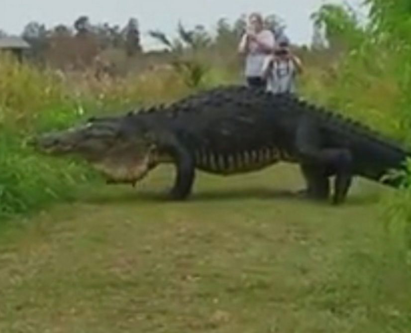 big-alligator